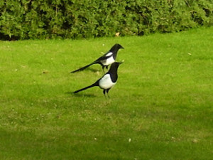 Mr and Mrs Magpie – Two For Joy!