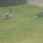 Duck and Drake Come to Visit