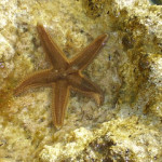 Starfish – a first in Porto Rafti!