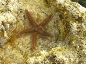 Starfish – a first in Porto Rafti!